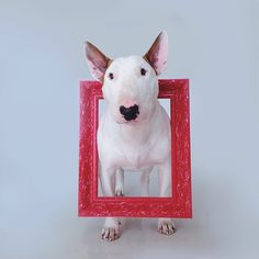 rafael mantesso and Jimmy Choo Chien Bull Terrier, Bull Terrier Funny, British Bull Terrier, English Bull Terriers, Pitbull Terrier, Best Dog Breeds, Best Dogs, Bull Terriers Anglais, Jimmy Choo