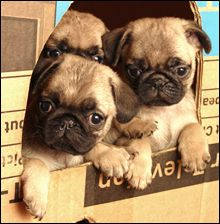 Things You Should Know Before Buying A Pug! http://www.pugcenter.com/pug-information.php