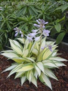 remember me hosta - Summer color - from gardensdirect.com