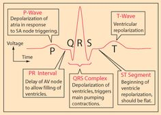 A cardiac cycle, or one heartbeat, is represented on the ECG as one PQRST sequence. Between cardiac cycles the ECG recorder returns to the isoelectric line (the flat line on the ECG strip during. Cardiac Nursing, Nursing Mnemonics, Pathophysiology Nursing, Pharmacology Mnemonics, Med Surg Nursing, Ekg Interpretation, Nursing School Notes, Nursing Schools, Nursing School Humor