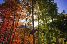 Colorful Leaves of Colorado's Aspen Trees