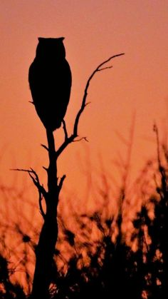 Lone owl at dusk. Owl Photos, Owl Pictures, Owl Silhouette, Creation Art, Owl Always Love You, Beautiful Owl, Creatures Of The Night, Wise Owl, Owl Bird