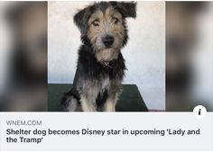 Disney Divas, Lady And The Tramp, Disney Stars, Shelter Dogs, Disney Characters, Animals, Animales, Animaux, Animal