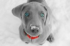 Silver Lab puppy. Those eyes are amazing!!!