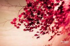 Nature Photography, Fall Print, Autumn Photography, Red Pink Leaves by Twiggs Photography