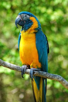The Blue-throated Macaw (Ara glaucogularis), similar to most macaw species, is Critically Endangered. This beautiful bird lives in a small area in Bolivia and is endangered by habitat destruction and by bird collecting. (Photo Wikimedia Commons)