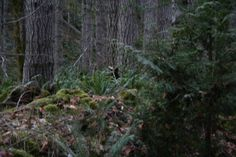 Grays Harbor County is a hotbed of Sasquatch sitings and remote wilderness to explore for novice to experienced Sasquatch searchers from far and near.