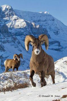 **big horned sheep Expression