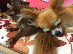 . . チワワ on チワワ . ももちゃんあなたが枕にしてるのはちゃこちゃんのお尻です #モモ #チャコ #チワワ #chihuahua #ペット #お尻枕 #チワワonチワワ #dog #家族 #family #ig_dog #kumamoto #熊本 #kumamoto_instagramers #icu_japan#lovers_nippon#bestjapanpics#instajapan #写真好きな人と繋がりたい #ファインダー越しの私の世界 #instagramjapan#wu_japan #igers#instagram#IGersJP#RECO_ig#igreja#igersjp#team_jp_ #ig_japan_