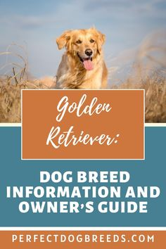 One of the most popular dogs, Perfect Dog Breeds has all the information you need about Golden Retrievers. Friendly and gentle dogs, PDB compiled a guide to show you everything this puppy needs to be healthy and thrive. A wonderful addition to the family, this canine will put a smile on everyone's face. The Golden Retriever makes a great member of the family. To find out more go ahead and read our report here… #goldenretriever #goldenretrieverguide #goldenretrieverinformation Large Dog Breeds, Large Dogs, Dogs Golden Retriever, Golden Retrievers, Most Popular Dog Breeds, Dog Care, Dog Food Recipes, How To Find Out, Puppies
