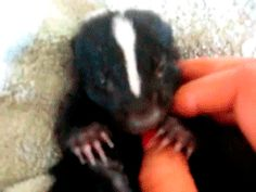 16 Baby Skunks Who Are Freaking Adorable