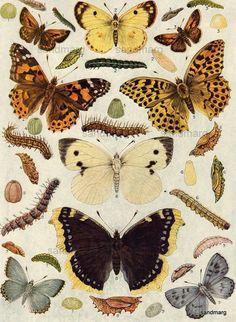 1923 European Butterflies and Moths