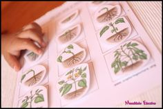 Botany - Life Cycle of Plants Montessori Classroom, Life Cycles, Botany, Trees To Plant, Activities For Kids, Homeschool, Science, Teaching, Children