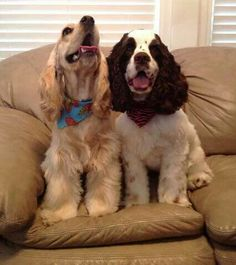 Golden and a Black & White Cocker Spaniel White Cocker Spaniel, American Cocker Spaniel, Cocker Spaniel Puppies, Cute Puppies, Cute Dogs, Dogs And Puppies, Awesome Dogs, Doggies, Spaniel Breeds