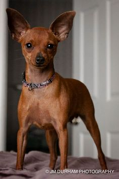 """My Min-Pin, """"Bambi."""" All 5 lbs. of mischief."""
