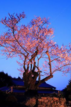 Cherry Blossom Twilight, Japan