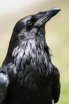 Crow Art, Bird Art, Raven Pictures, Raven Images, Raven Photography, Raven Bird, Raven Feather, Raven Wings, Rabe Tattoo