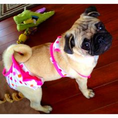 Cutie pug in her bathing suit! :)
