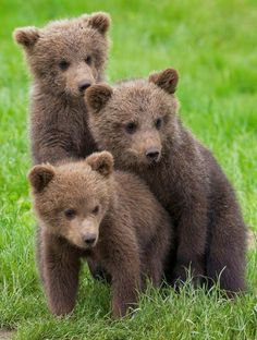 Der umständliche Bär ist auch ein sehr offenes Tier – Seite 11 von 56 – Lust… The awkward bear is also a very open animal – Page 11 of 56 – Funny – the Cute Funny Animals, Cute Baby Animals, Animals And Pets, Nature Animals, Funny Bears, Cute Bears, Bear Pictures, Animal Pictures, Bear Cubs