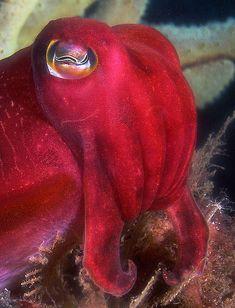 Sepia mestus. Red cuttlefish.