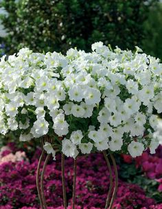 Petunia Pure White - Viherpeukalot