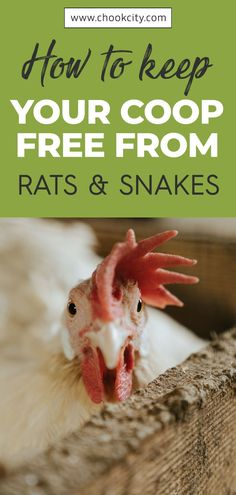 The first thing is identifying areas that rat snakes may gain access to your coop. Block those openings to ensure snakes stay out of the coop and nesting boxes. If you have regular chicken wire around, replace that with a smaller one to minimize the size of the holes that snakes would otherwise fit. Read more.. . . . #ChookCity #Chicken #RaiseChickens #BackyardChickens #UrbanGarden #UrbanHomestead #Homestead #ChickenLove #Chickenlife #FarmLife #Chickens #ChickenSnakes #SafeChickenCoop Chicken Shed, Chicken Life, Backyard Chicken Coops, Chicken Coop Plans, Diy Chicken Coop, Backyard Farming, Chickens Backyard, Raising Meat Chickens, Chicken Facts