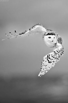 All information about Snowy Owl In Flight. Pictures of Snowy Owl In Flight and many more. Beautiful Owl, Animals Beautiful, Cute Animals, Animals Amazing, Wild Animals, Pretty Birds, Love Birds, Birds 2, Angry Birds
