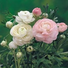 Ranunculus - 5 Of The Most Scintillating Flowers That Start With R - However, though roses are a chief favorite of gardeners and non-gardeners alike, they forget that t -