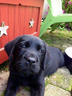 Vader...black lab puppy