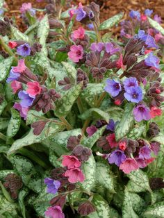 High Contrast Lungwort (Pulmonaria 'High Contrast' P.# - Monrovia - High Contrast Lungwort (Pulmonaria 'High Contrast' P. Shade Perennials, Shade Plants, Burgundy Flowers, Blue Flowers, Flower Colors, Pink Pewter, Monrovia Plants, Mostly Sunny, Plant Catalogs