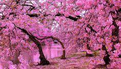 Photo of the day: St James's Park springtime cherry blossom