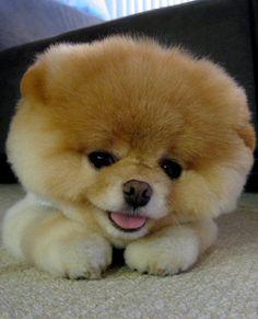 Cutest dog in the world....OMG, looks like a stuffed animal...sooo cute!