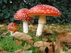 Fly Agarics are the quintessential Fairy Mushroom!