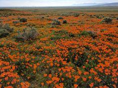 California Poppies blooming. Antelope Valley Poppy Reserve CA [OC] [4048 x 3036] #reddit
