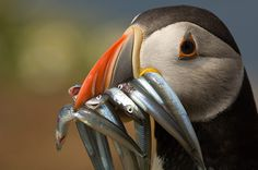 Top 10 wildlife spots in Pembrokeshire – in pictures Wales wildlife: Puffin with sandeels in bill, Skomer Island, Pembrokeshire, Wales Underwater Photography, Wildlife Photography, Pembrokeshire Wales, Visit Wales, British Wildlife, Family Days Out, Science Photos, Snowdonia, Sea Birds