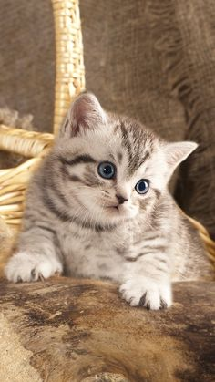 Baby Kittens, Cute Cats And Kittens, Kittens Cutest, Kitty Cats, Beautiful Cats, Animals Beautiful, Cute Animals, Cat App, Cat Photography