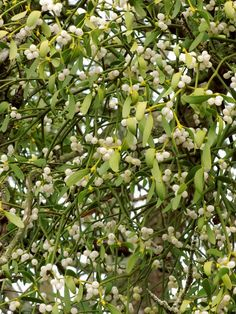 The healing properties of the Medicinal Mistletoe - The familiar, white-berried token of the winter holiday season, mistletoe, is a parasitic plant that grows on the branches of several species of trees.