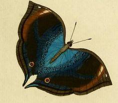 Blue-leaf Pansy (Junonia cymodoce)