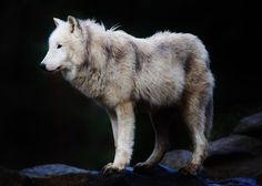 wolveswolves:  ByHugo von Schreck