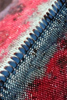 The skin of a Marine Iguana on Fernandina Island. http://www.galapagosexpeditions.com/islands/animals-wildlife.php