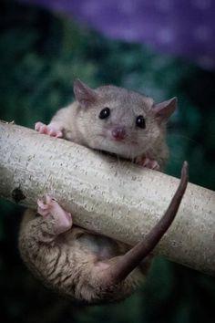 Eco Exotics - Short Tailed Opossums