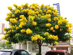 Dial for fast growing evergreen trees, shade trees, flowering trees and fruit trees. Trees And Shrubs, Flowering Trees, Trees To Plant, Tree With Yellow Flowers, Rose Flowers, Small Ornamental Trees, Florida Trees, Fast Growing Trees, Tree Pruning