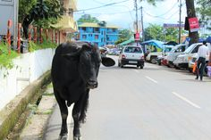 Cows in Palampur Gap Year, Cows, Medical, India, Medical Doctor, Delhi India, Time Out, Medicine, Med School