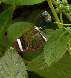 The Incredible Glasswing Butterfly | The Ark In Space