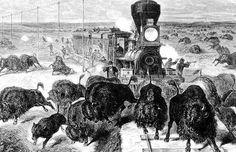 Alors que les américains se déplaçaient de plus en plus vers l'ouest des Etats-Unis dans les années 1800 la chasse au bison s'est développé dans des proportions extrêmes, non seulement sa viande et sa fourrure se vendaientpour un bon prix mais le gouvernement encourageait son abattage comme un moyen de déplacer et affamer les …