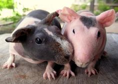 Skinny #Pigs Make Everyone's Day Better.