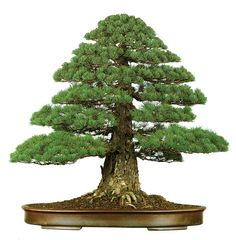 Another dignified Chokkan-style bonsai tree. This one is a legendary Japanese white pine (perhaps the most famous formal upright bonsai in the world). If was restyled by Masahiko Kimura (The Magician) just before this photo was taken in 1997.