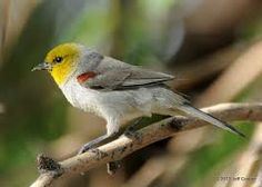 The Verdin (Auriparus flaviceps) is a species of penduline tit. It is the only species in the genus Auriparus and the only species in the family to be found in the New World. Verdins are permanent residents of the southwestern United States and northern Mexico, ranging from southeastern California to Texas, throughout Baja California and into central Mexico, north of the Trans-Mexican Volcanic Belt.