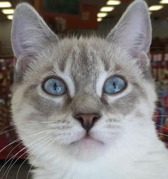 Ava is a Lynxpoint Siamese female cat who is about 4 months old. She is spayed and vaccinated, and is very social. Apply with Another Chance Animal Welfare League Adoption Center at www.acawl.org. Call 246-9938.