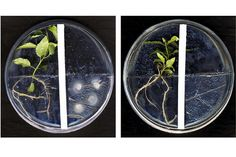 Göttinger Forscher entdecken Wechselwirkung bei Pilzen und Pflanzen